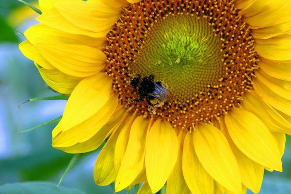 Hummel an Sonnenblume