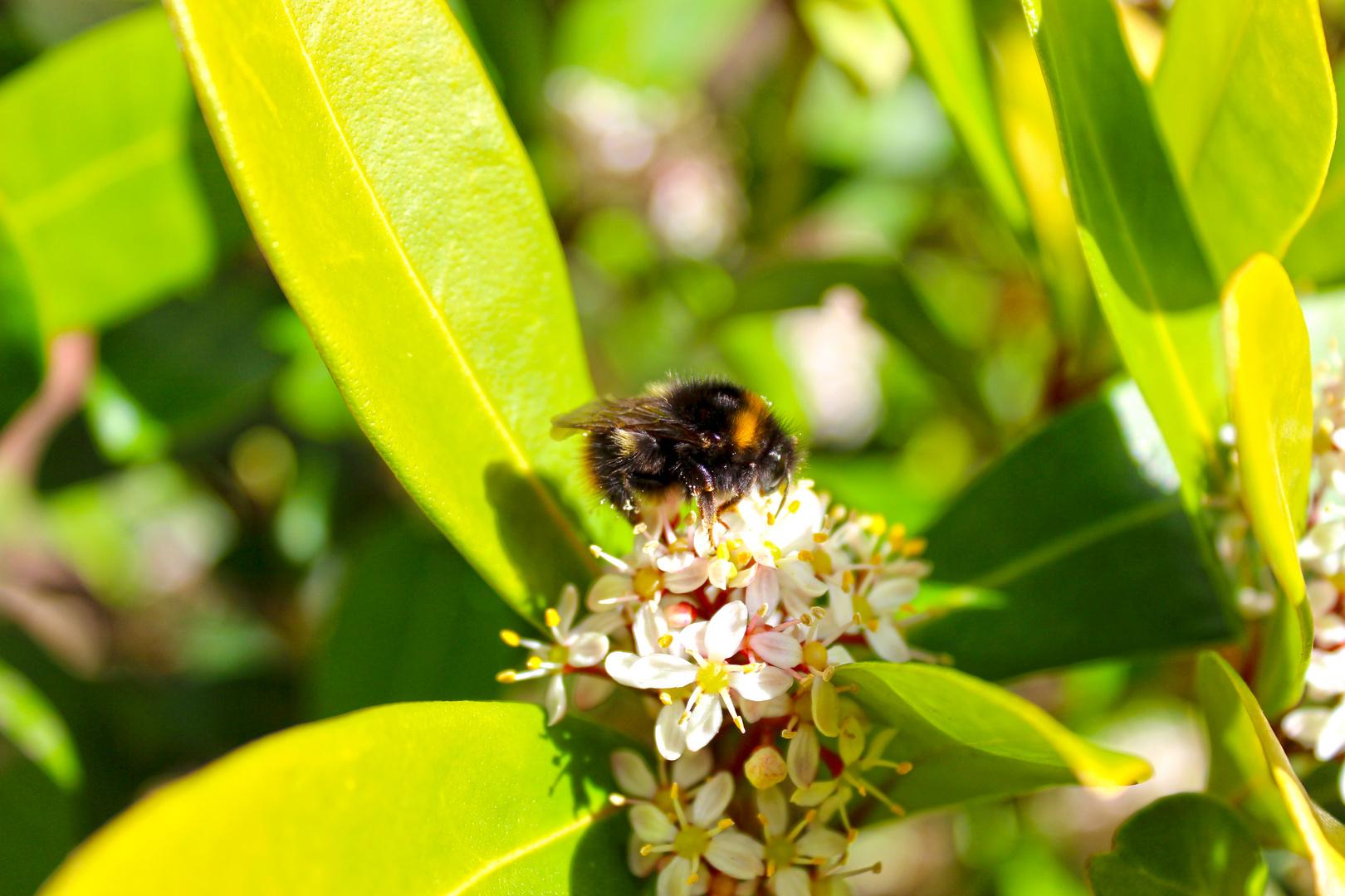 Hummel auf Blüte