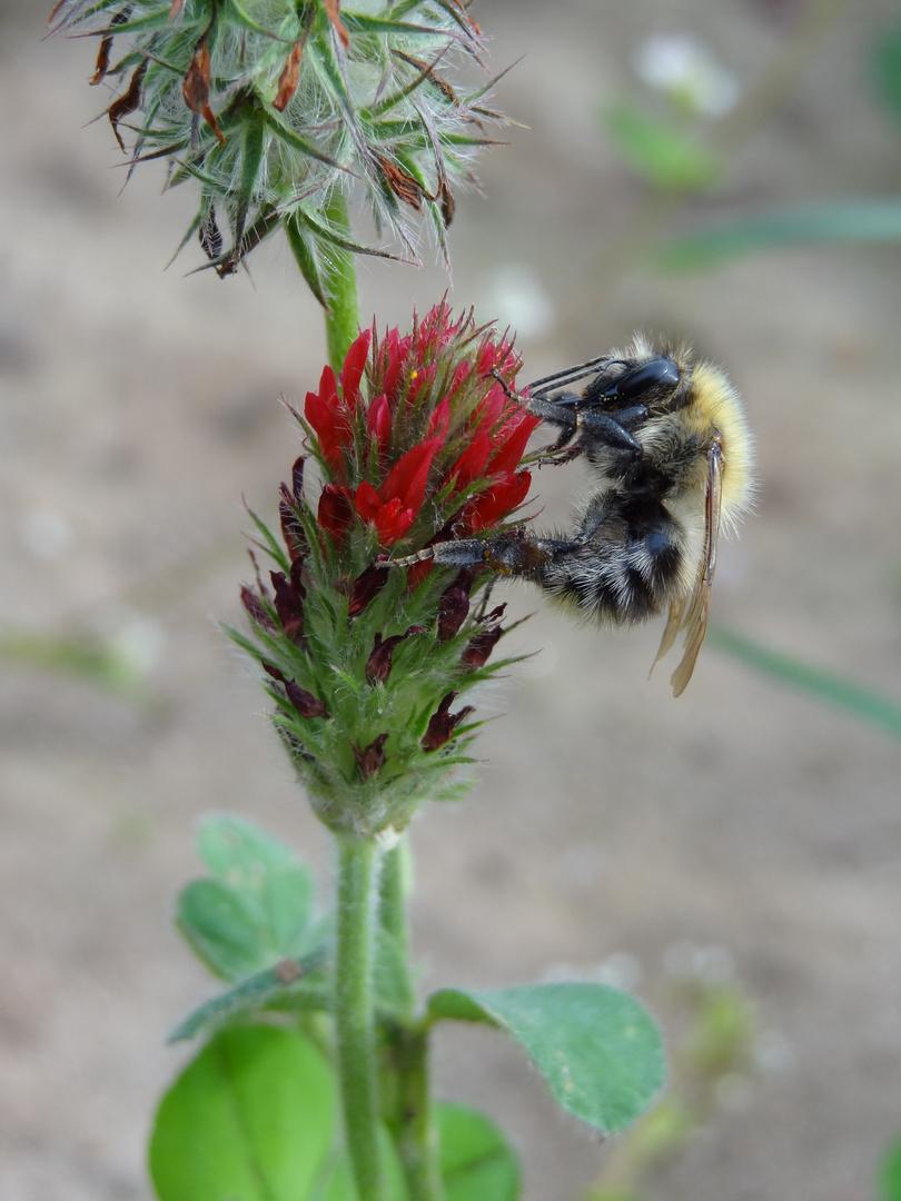 Hummel auf Blume