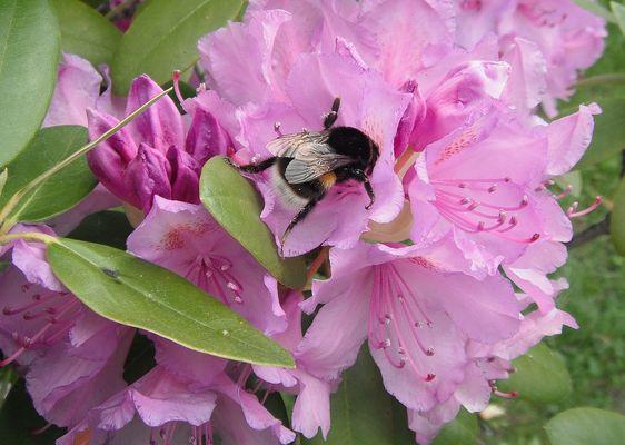 Hummel auf den Blüten