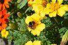 Hummel auf einer gelben Blüte