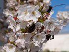 Hummel auf einer Kirschblüte