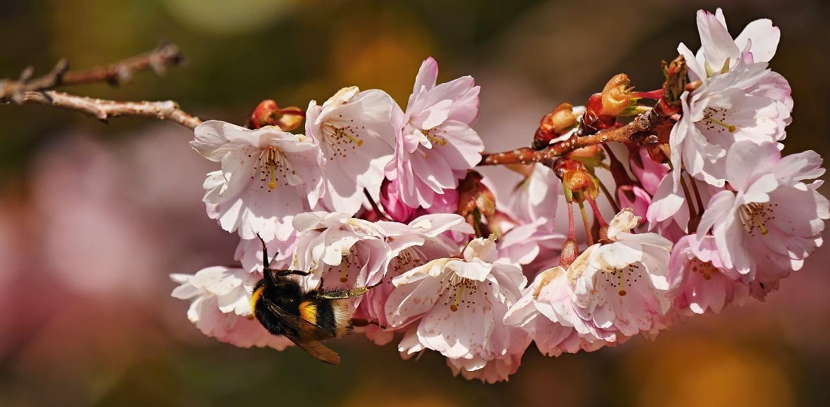 Hummel auf Kirschblüten
