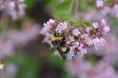 Hummel auf Oregano-Blüte