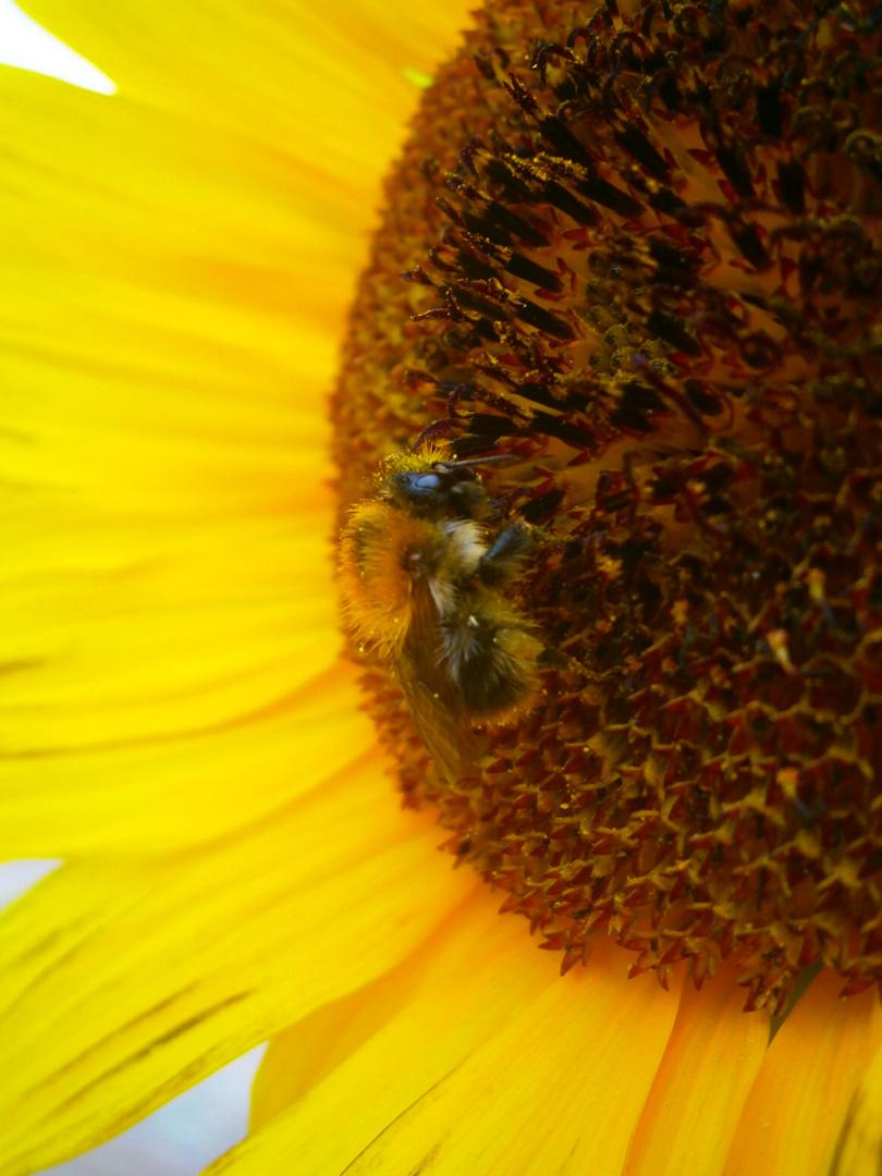 Hummel auf Sonnenblume