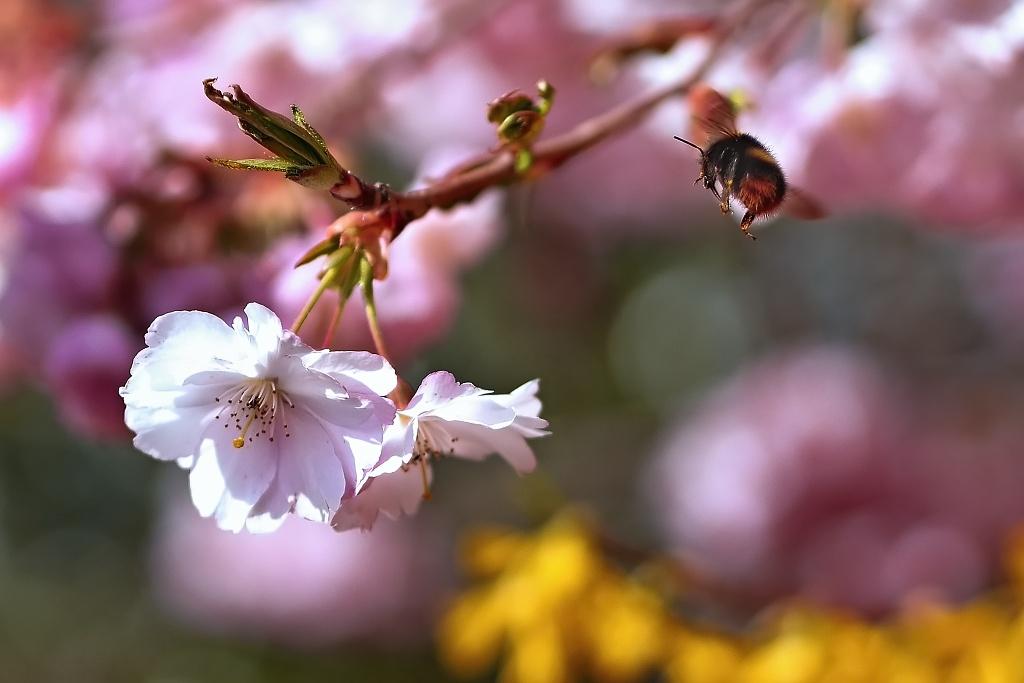 Hummel beim Anflug auf die Blüte
