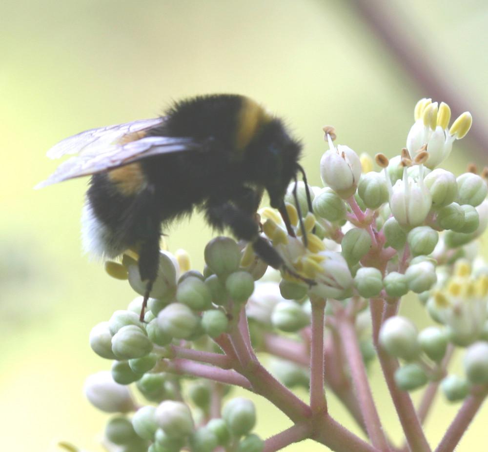 Hummel besucht Euodia-(Bienenbaum) blüte