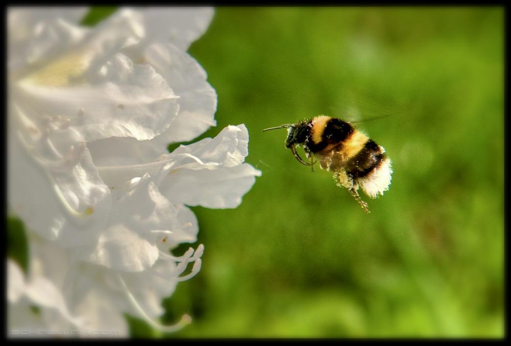 hummel foto bild tiere wildlife insekten bilder auf fotocommunity. Black Bedroom Furniture Sets. Home Design Ideas