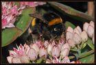 Hummel - fleißig wie eine Biene