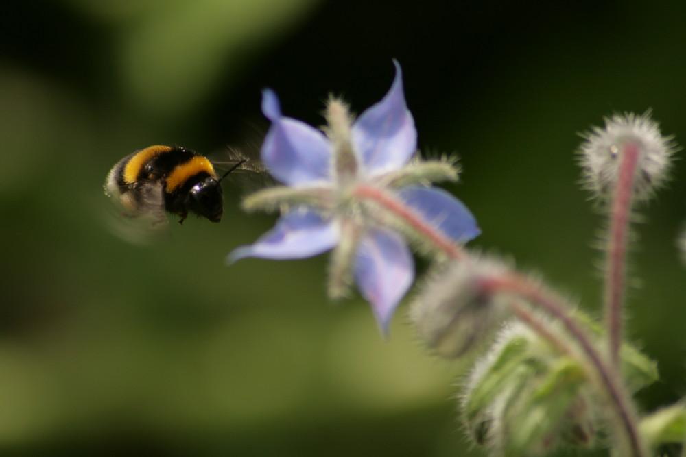 Hummel im Anflug auf Blüte