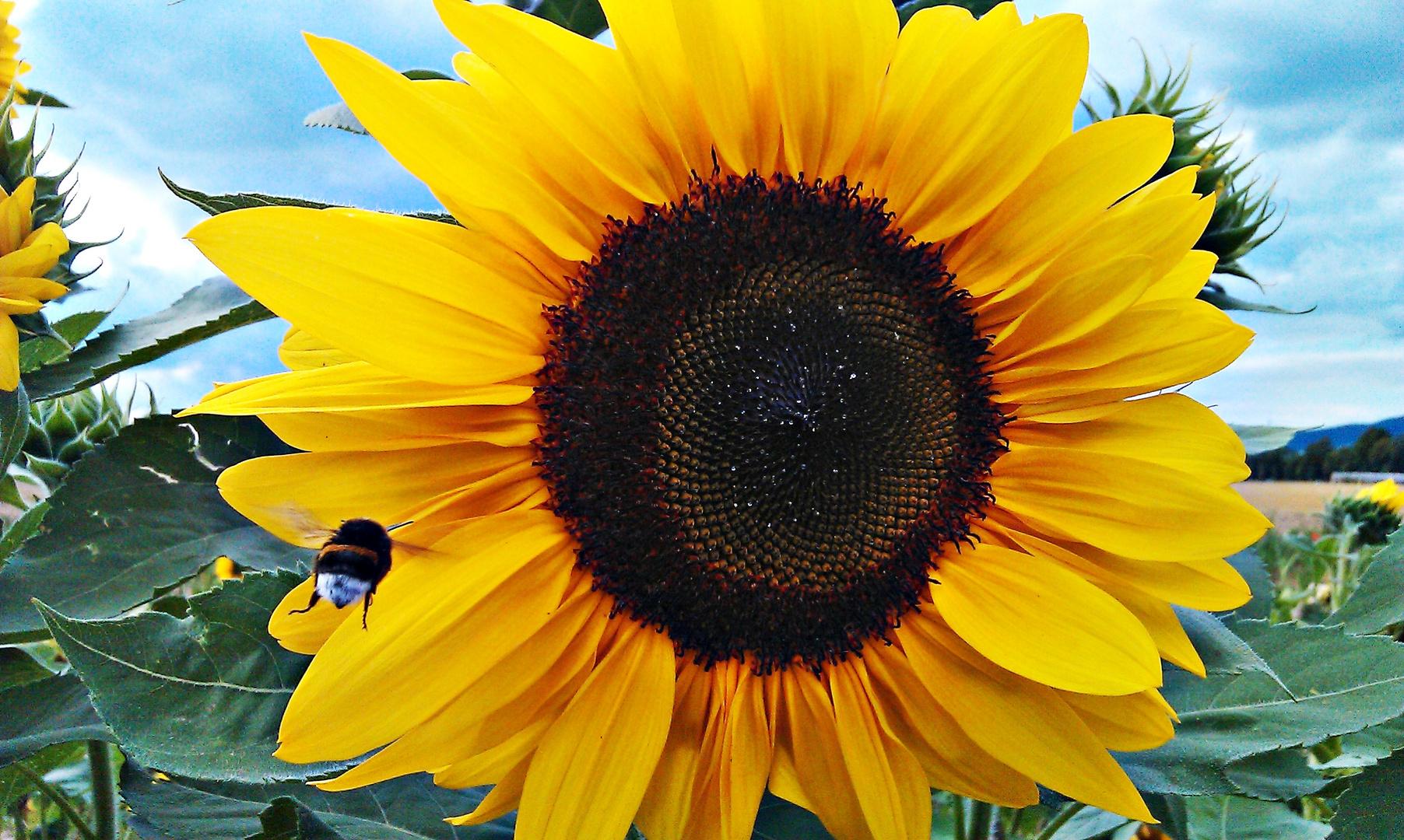 hummel im anflug auf die sonnenblume foto bild pflanzen pilze flechten bl ten. Black Bedroom Furniture Sets. Home Design Ideas
