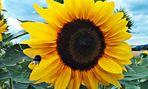 Hummel im Anflug auf die Sonnenblume