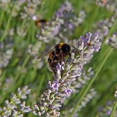 Hummel im Lavendel-Wald (:o)