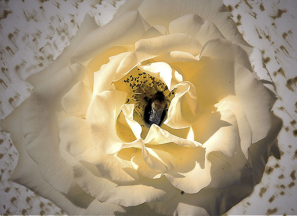 Hummel in der Rose