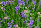 Hummel in Lavendel