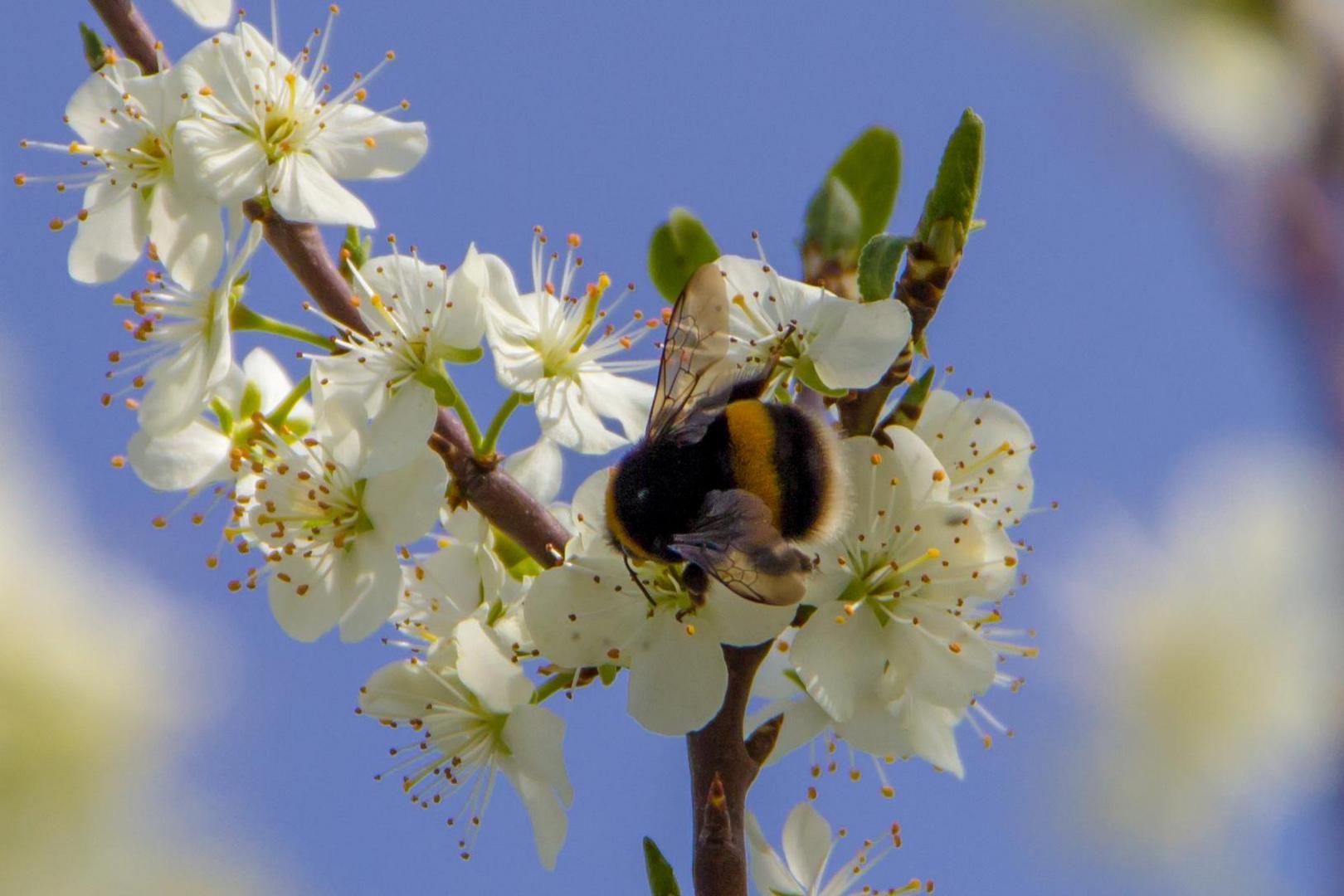 Hummel nascht an der Kirschblüte