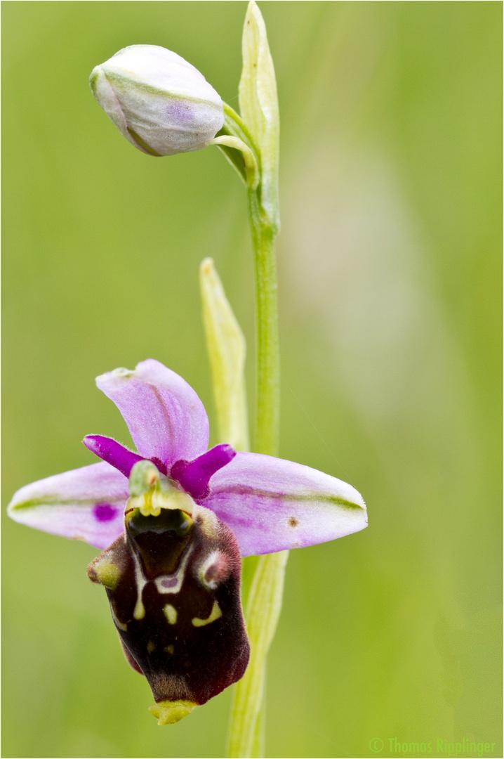 Hummel-Ragwurz (Ophrys holoserica) ... .