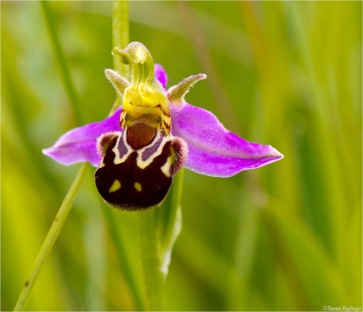 Hummel-Ragwurz (Ophrys holoserica). ,