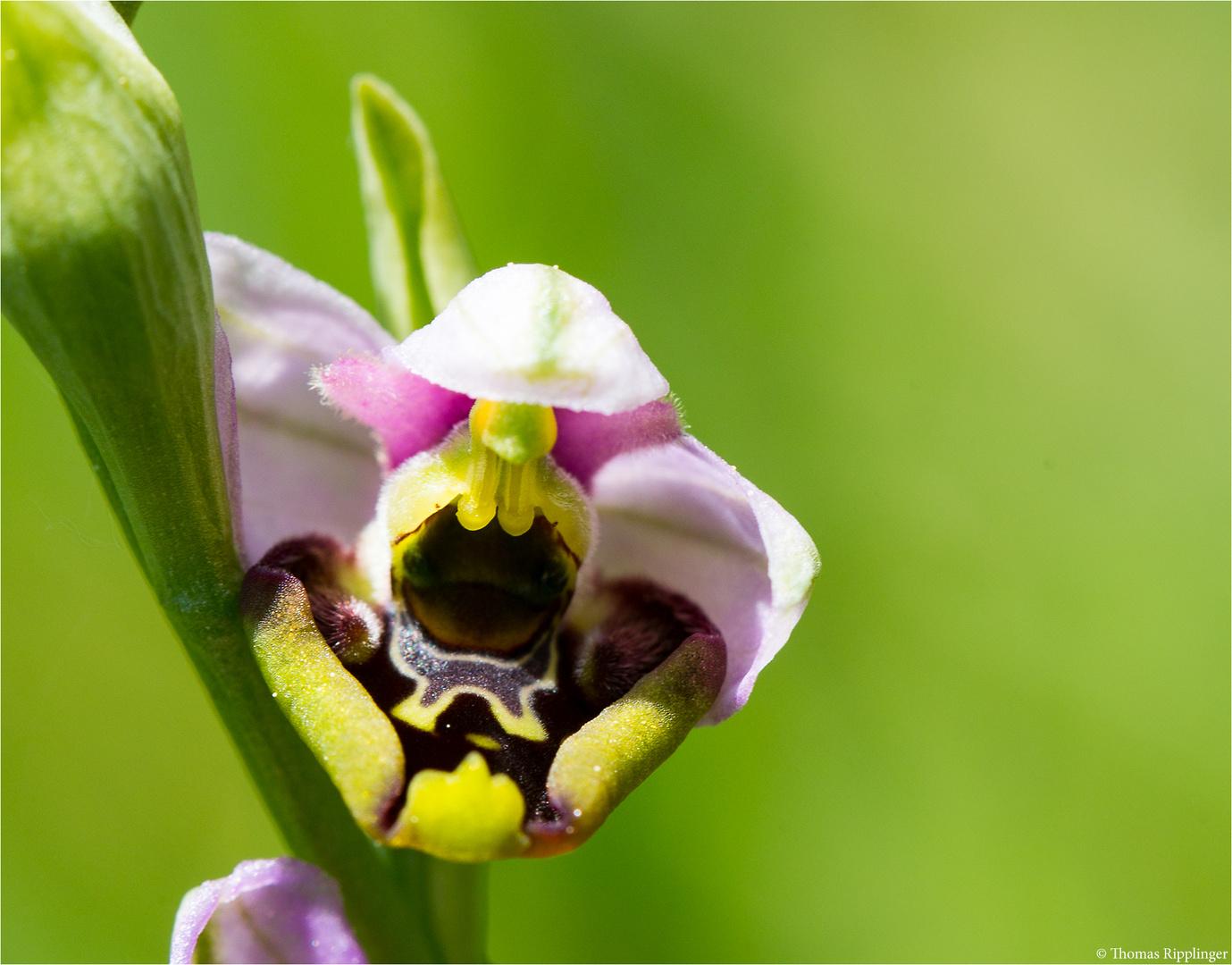 Hummel-Ragwurz (Ophrys holoserica).