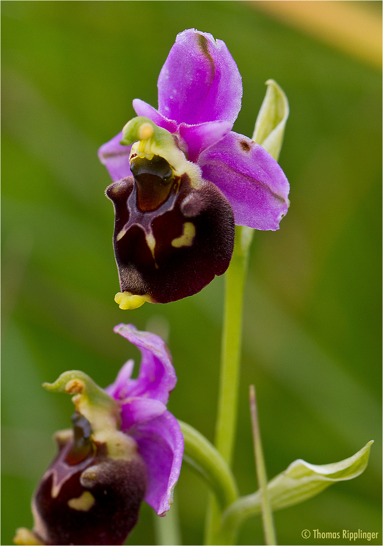 Hummel-Ragwurz (Ophrys holoserica) ... ..