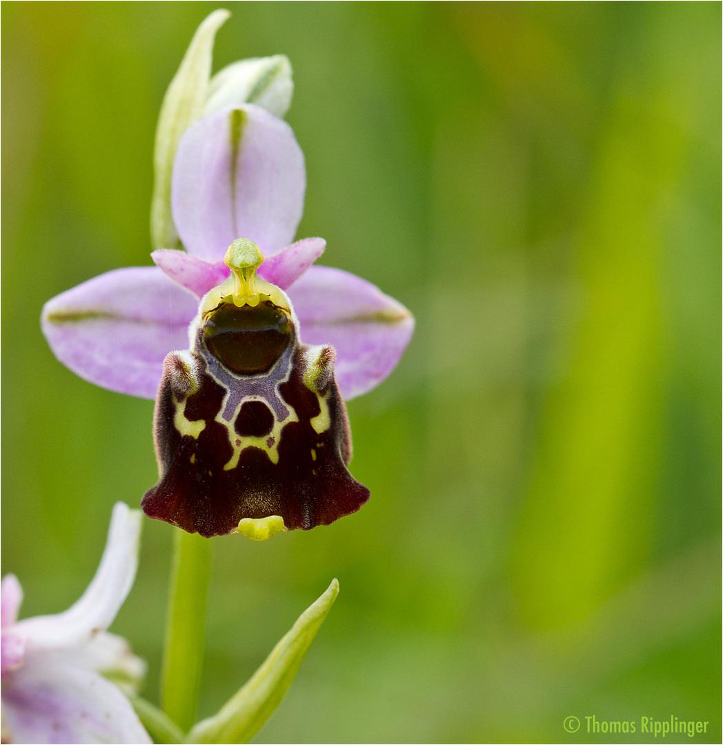 Hummel-Ragwurz (Ophrys holoserica) .