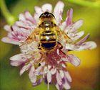 Hummel sitzt auf Blume