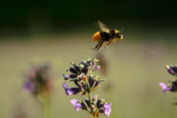 Hummel über Lavendel