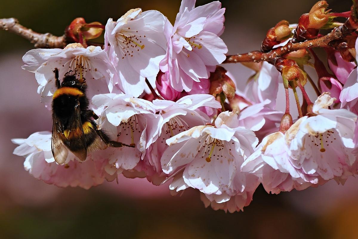 Hummel und Blüten