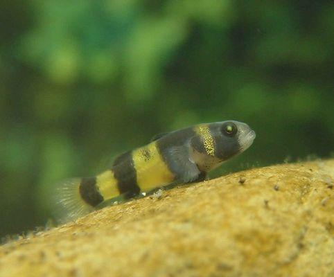 Hummelfisch (Goldringelgrundel)