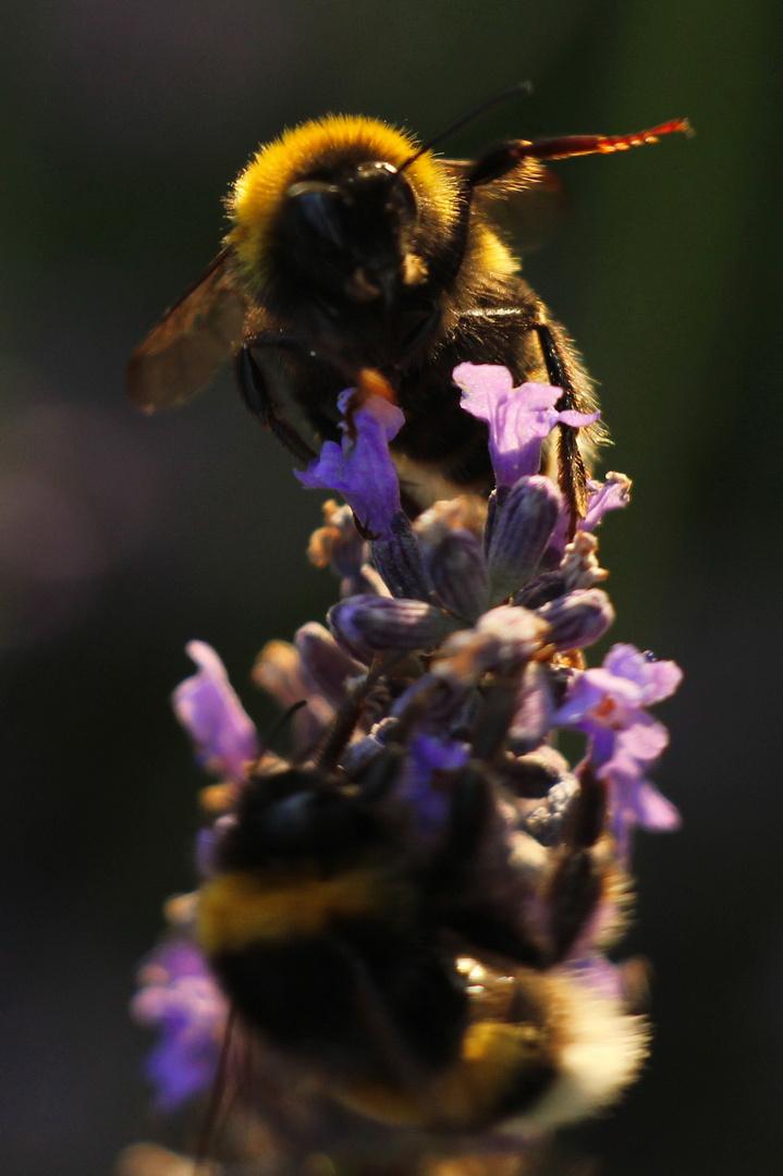Hummel_Lavendel