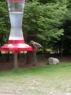 Hummingbird (Colibry)4