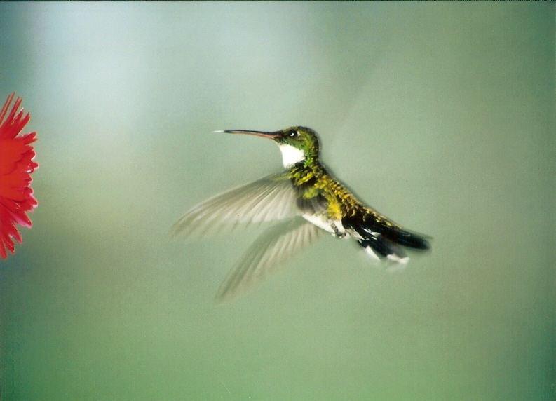 HUMMINGBIRD - II