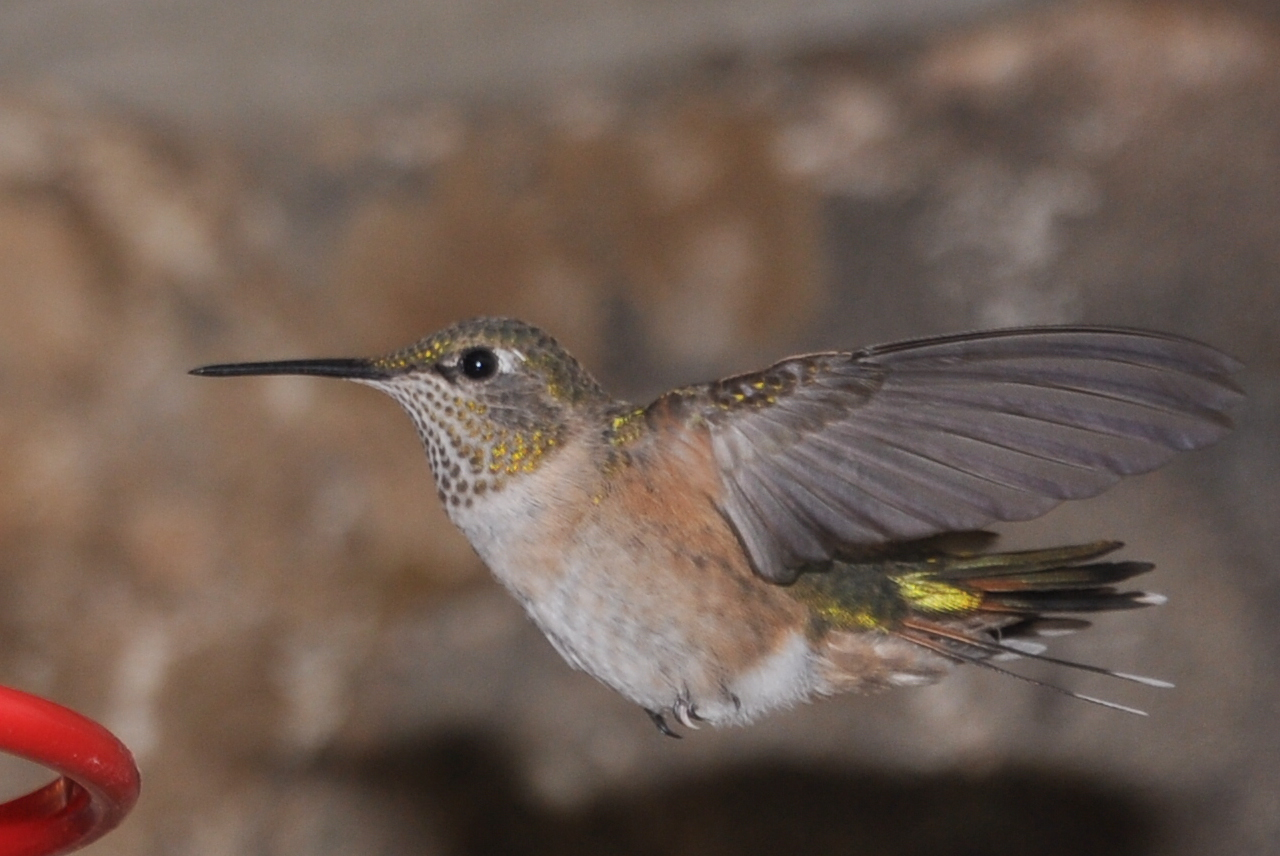 Hummingbird in den Rockies