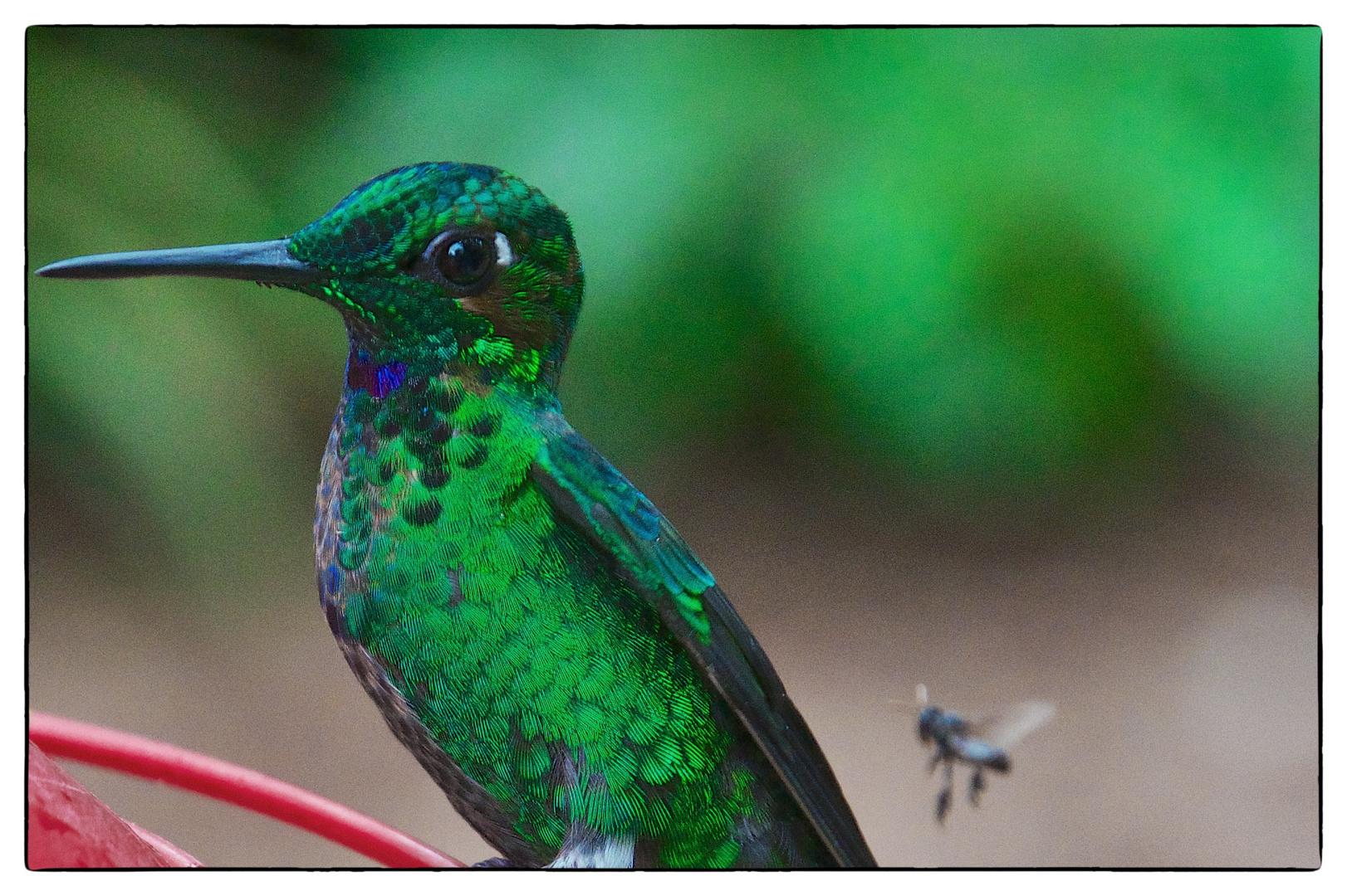 Hummingbird is looking at fly