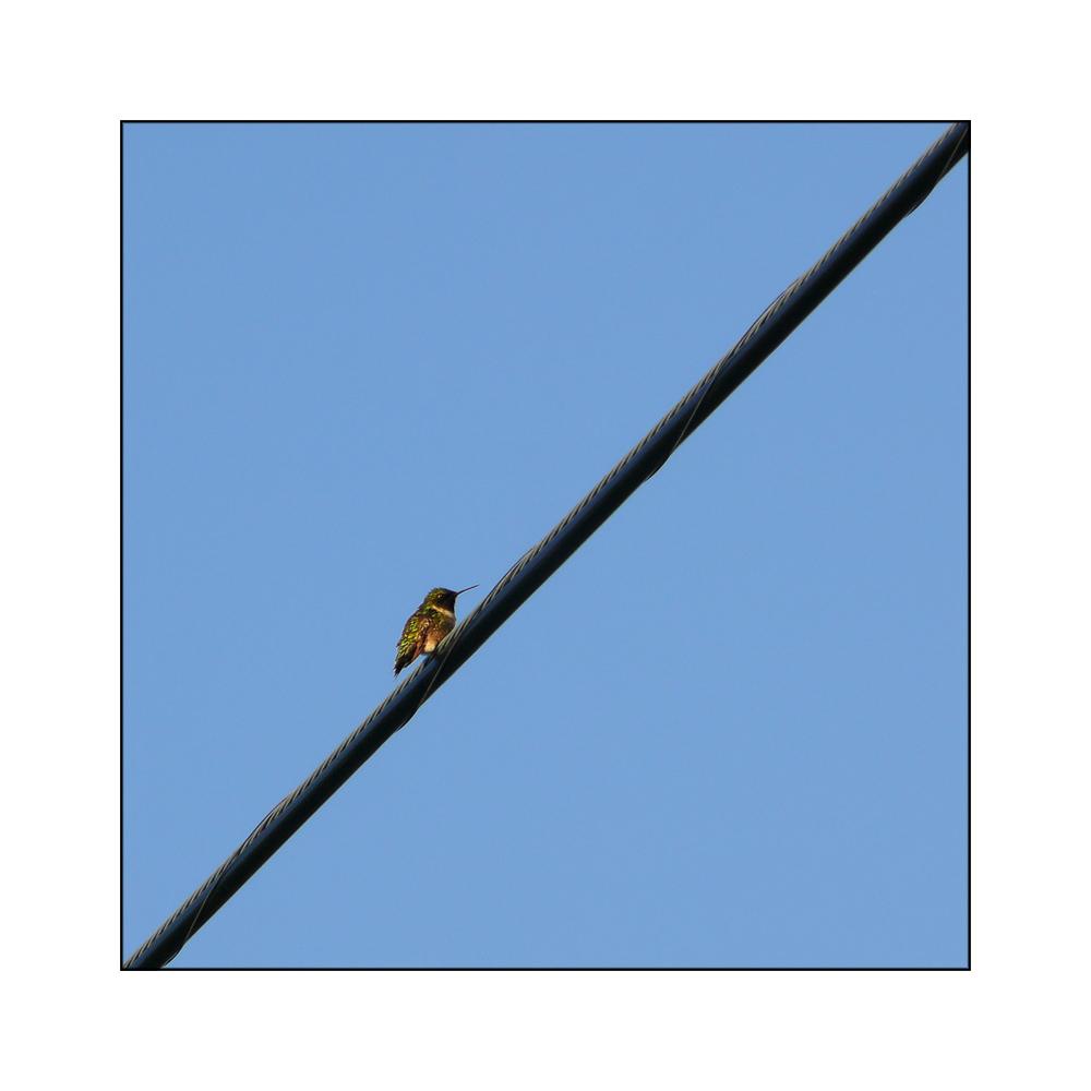 Hummingbird / Kolibri