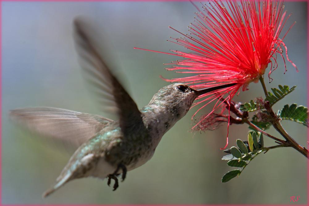 Hummingbird Tucson USA