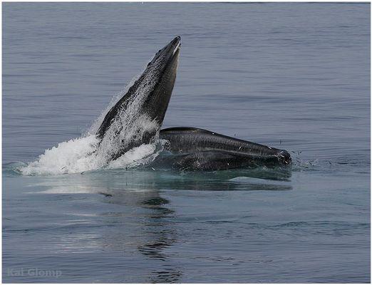 humpback fishing