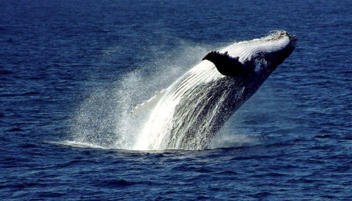 Humpback-Wal am jumpen...