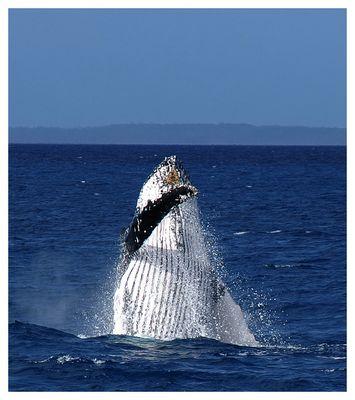 Humpback Wal nahe Fraser Island