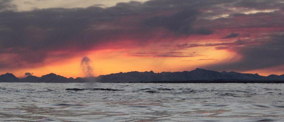 Humpback Whale. Norwegian Sea. 7 January 2012