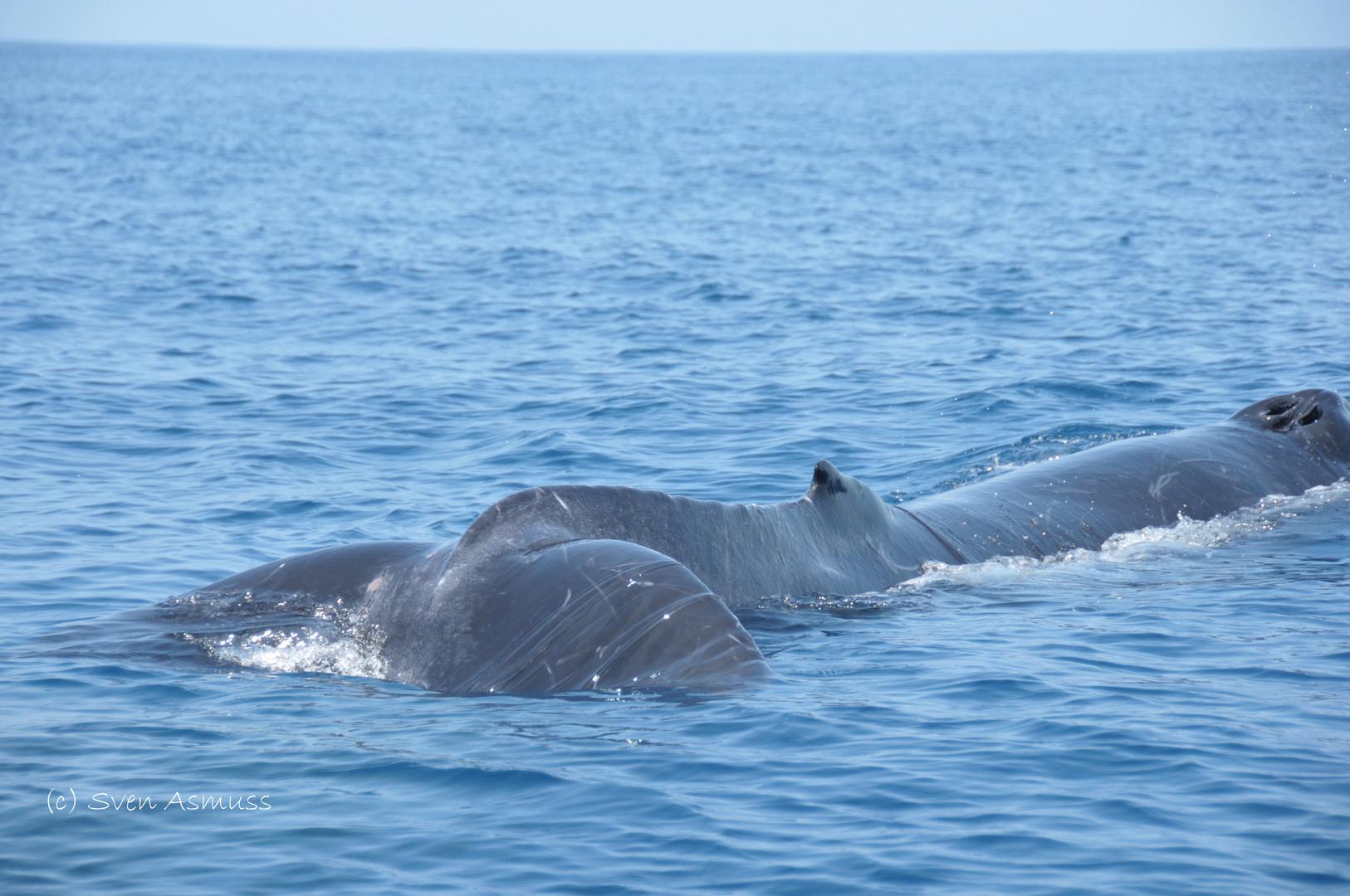 Humpbackwhale Mom