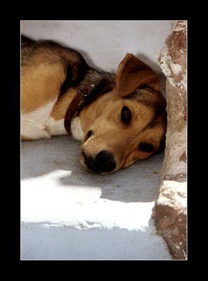 Hund auf Santorini