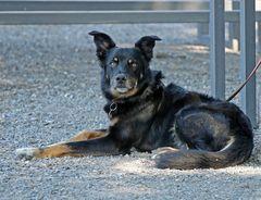 Hund -aufmerksam-