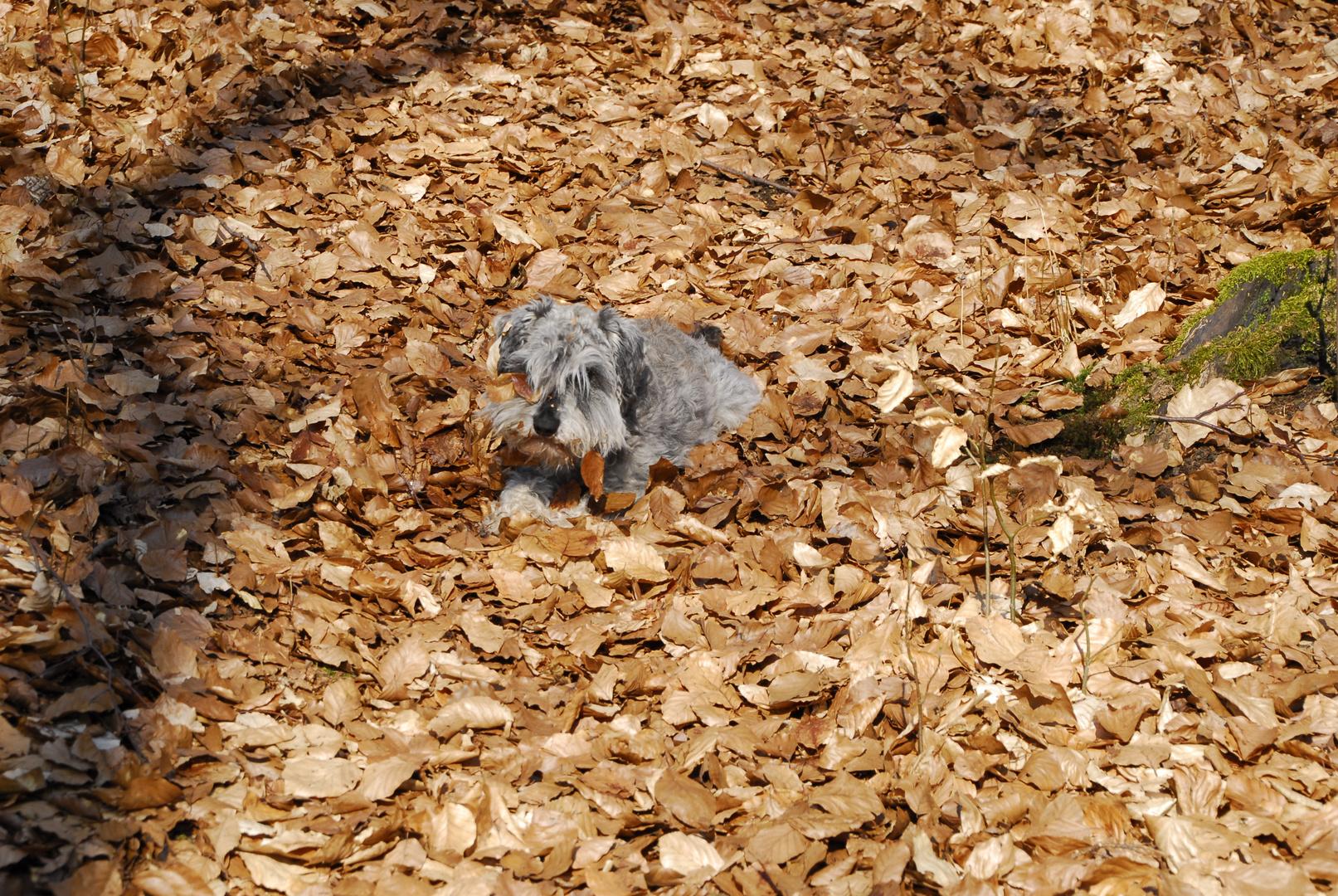 Hund beim Blätterbad