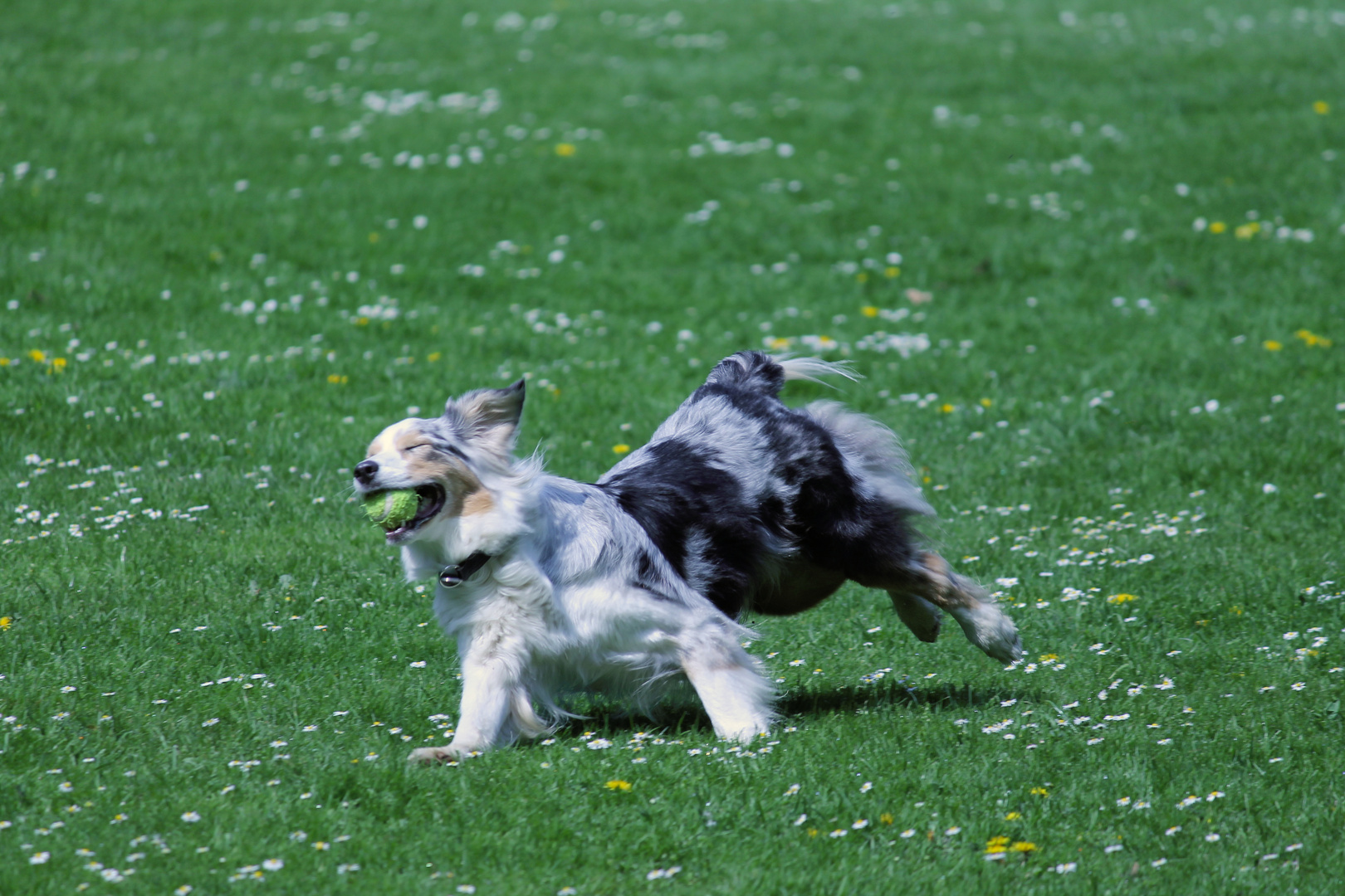 Hund beim spielen