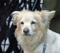 Hund -beobachtend-