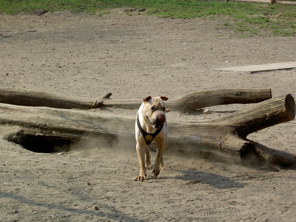 Hund / Dog / Köpek - Shar Pei 01 (Berlin Neukölln Kreuzberg Hasenheide)