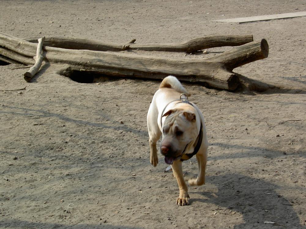 Hund / Dog / Köpek - Shar Pei 02 (Berlin Neukölln Kreuzberg Hasenheide)