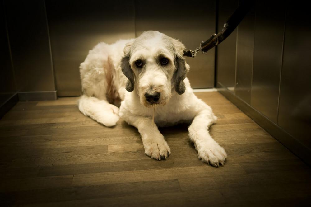 Hund fährt Fahrstuhl
