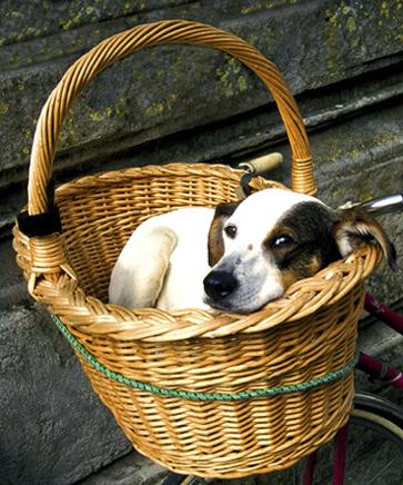 Hund (Hahn) im Korb